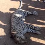 Devlet leopar saldırısında ölmeyen vatandaşa niye ölmedin diyerek 434 lira ceza kesti