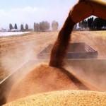 Buğdayın merkezi Konya'da çiftçiler üretimi bırakıyor