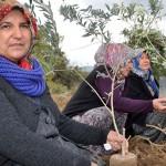 Halkımız vazgeçmiyor, Yırcalılar araziye yeni zeytin ağaçları dikti